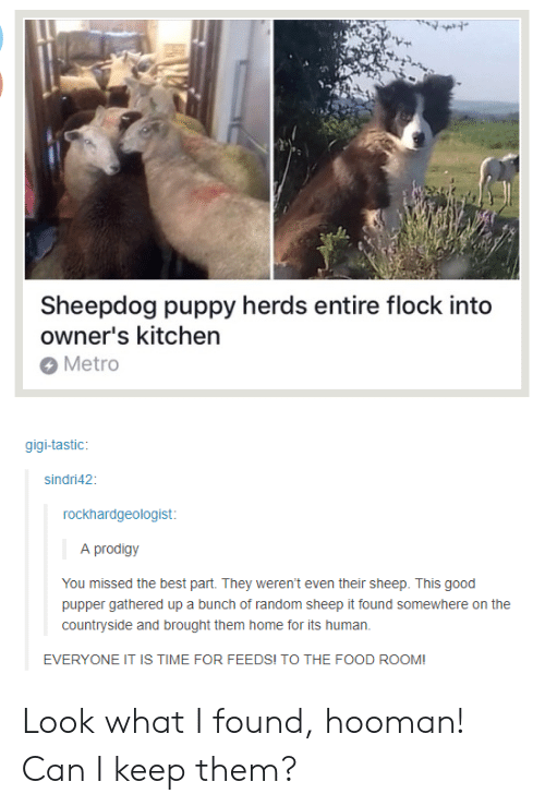 Look What I Found: Sheepdog puppy herds entire flock into  owner's kitchen  Metro  gigi-tastic  sindri42  rockhardgeologist  A prodigy  You missed the best part. They weren't even their sheep. This good  pupper gathered up a bunch of random sheep it found somewhere on the  countryside and brought them home for its human.  EVERYONE IT IS TIME FOR FEEDS! TO THE FOOD ROOM! Look what I found, hooman! Can I keep them?