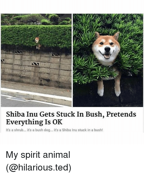 Funny, Ted, and Animal: Shiba Inu Gets Stuck In Bush, Pretends  Everything Is OK  It's a shrub... it's a bush dog... it's a Shiba Inu stuck in a bush! My spirit animal (@hilarious.ted)