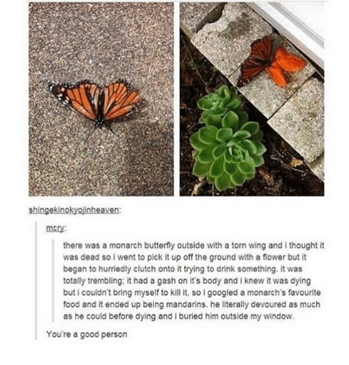 Food, Memes, and Butterfly: shingekinokyojinheaven  there was a monarch butterfly outside with a torn wing and i thought it  was dead so i went to pick it up off the ground with a flower but it  began to hurriedly clutch onto it trying to drink something. it was  totally trembling: it had a gash on it's body and i knew it was dying  buticouldn't bring myself to kill it, so igoogled a monarch's favourite  food and it ended up being mandarins. he literally devoured as much  as he could before dying and iburied him outside my window.  You're a good person
