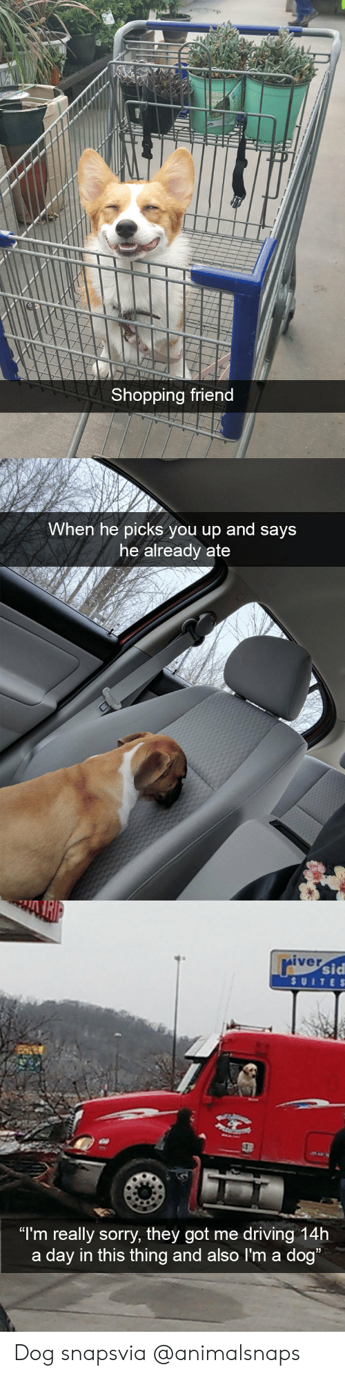 "suite: Shopping friend   When he picks you up and says  he already ate   iver  sid  SUITE S  ""I'm really sorry, they got me driving 14h  a day in this thing and also I'm a dog Dog snapsvia @animalsnaps"