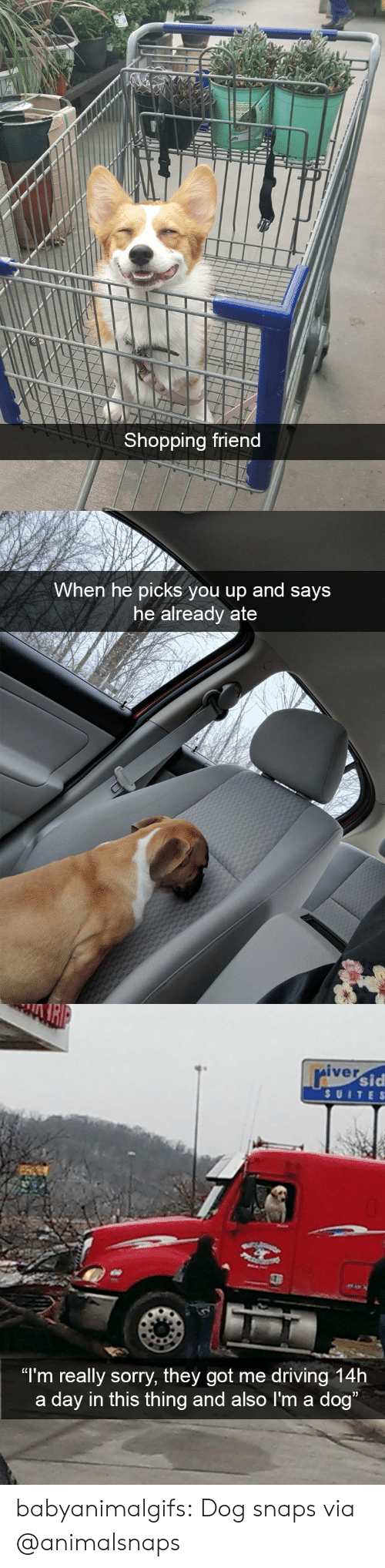 "suite: Shopping friend   When he picks you up and says  he already ate   iver  sid  SUITE S  ""I'm really sorry, they got me driving 14h  a day in this thing and also I'm a dog babyanimalgifs: Dog snaps via @animalsnaps"