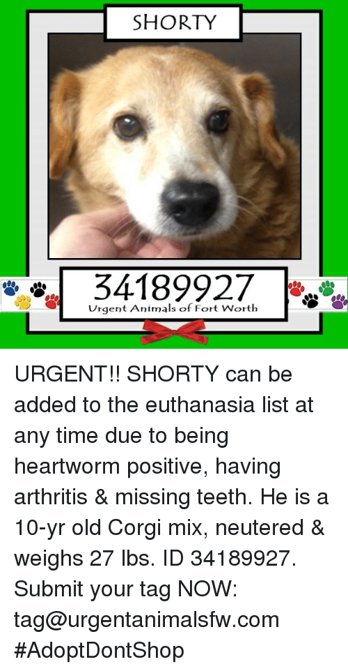 Corgi, Memes, and Arthritis: SHORTY  34189927  Urgent Animals of Fort Worth URGENT!! SHORTY can be added to the euthanasia list at any time due to being heartworm positive, having arthritis & missing teeth. He is a 10-yr old Corgi mix, neutered & weighs 27 lbs. ID 34189927. Submit your tag NOW: tag@urgentanimalsfw.com #AdoptDontShop