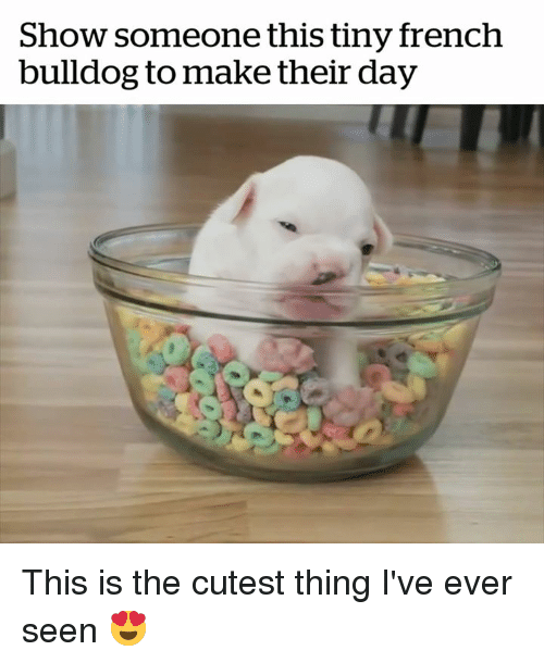 french bulldog: Show someone this tiny french  bulldog to make their day This is the cutest thing I've ever seen 😍