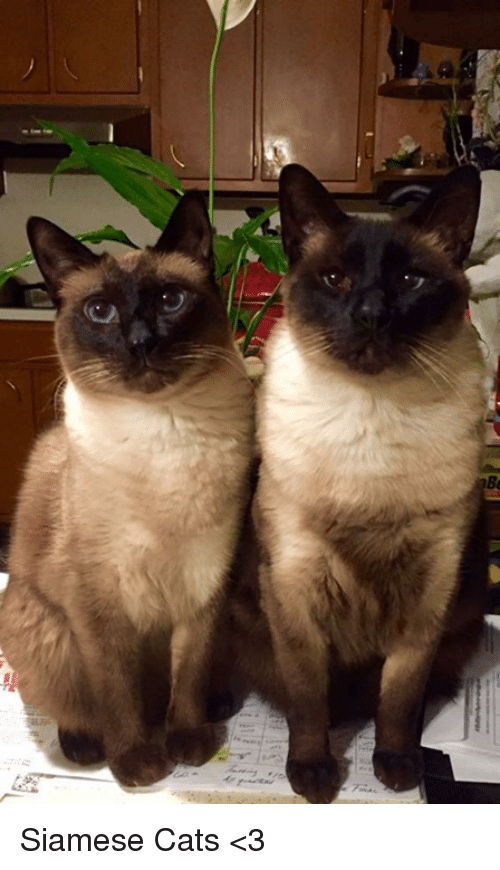 25+ Best Memes About Siamese
