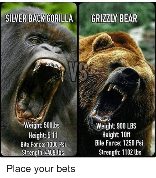 silver back gorilla grizzly bear weight 500lbs weight 900 lbs 20300471