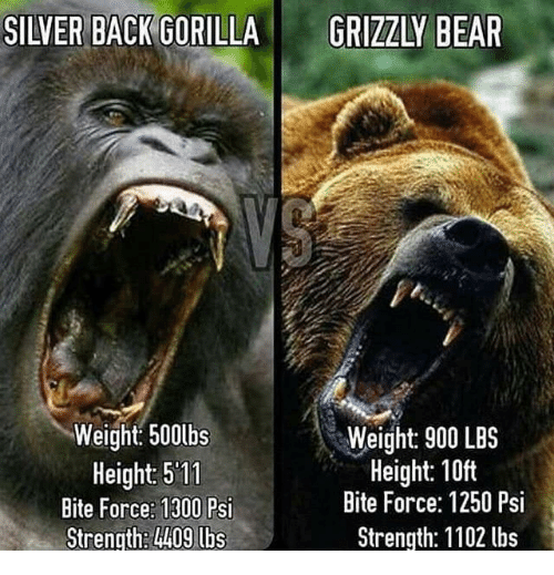 silver back gorilla weight 500lbs height 511 bite force