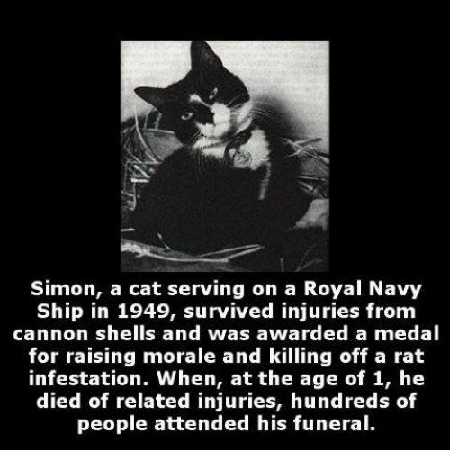 Memes, Navy, and Royals: Simon, a cat serving on a Royal Navy  Ship in 1949, survived injuries from  cannon shells and was awarded a medal  for raising morale and killing off a rat  infestation. When, at the age of 1, he  died of related injuries, hundreds of  people attended his funeral.