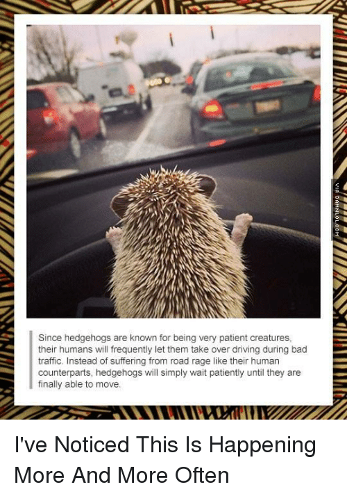 Waiting Patiently: Since hedgehogs are known for being very patient creatures,  their humans will frequently let them take over driving during bad  traffic. Instead of suffering from road rage like their human  counterparts, hedgehogs will simply wait patiently until they are  finally able to move. I've Noticed This Is Happening More And More Often