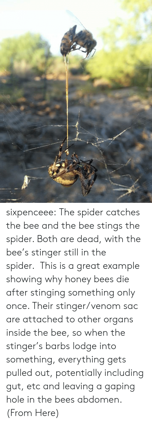 stinging: sixpenceee:  The spider catches the bee and the bee stings the spider. Both are dead, with the bee's stinger still in the spider.  This is a great example showing why honey bees die after stinging something only once. Their stinger/venom sac are attached to other organs inside the bee, so when the stinger's barbs lodge into something, everything gets pulled out, potentially including gut, etc and leaving a gaping hole in the bees abdomen. (From Here)