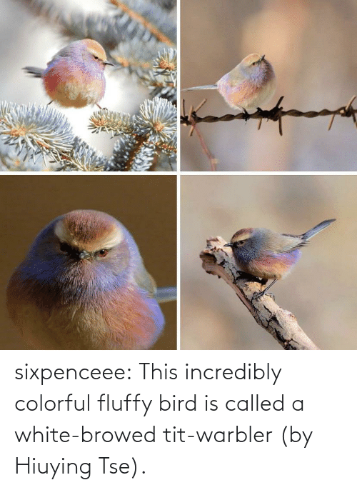 bird: sixpenceee:  This incredibly colorful fluffy bird is called a white-browed tit-warbler (by Hiuying Tse).