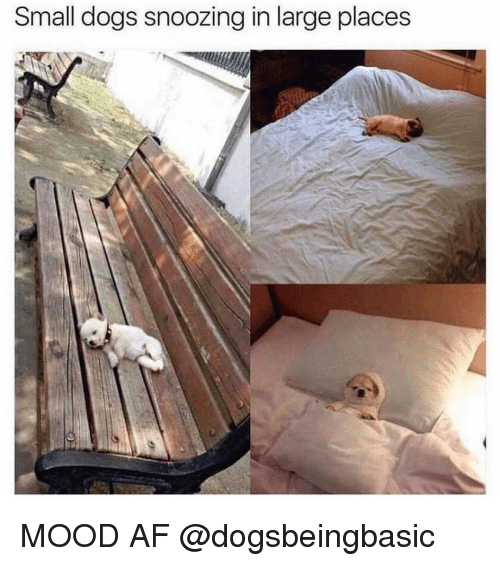 Memes, 🤖, and Afs: Small dogs snoozing in large places MOOD AF @dogsbeingbasic