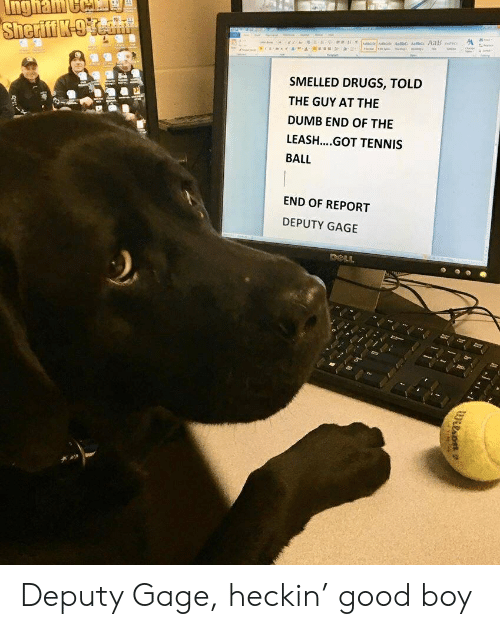 tennis ball: SMELLED DRUGS, TOLD  THE GUY AT THE  DUMB END OF THE  LEASH....GOT TENNIS  BALL  END OF REPORT  DEPUTY GAGE Deputy Gage, heckin' good boy