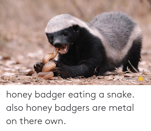 honey badgers: Smithsoman  CHANNEL honey badger eating a snake. also honey badgers are metal on there own.