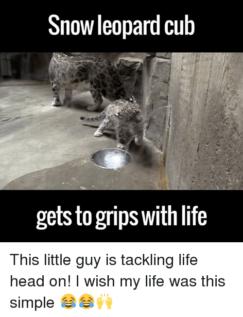 dank: Snow leopard Cub  getsto grips Withlife This little guy is tackling life head on! I wish my life was this simple 😂😂🙌