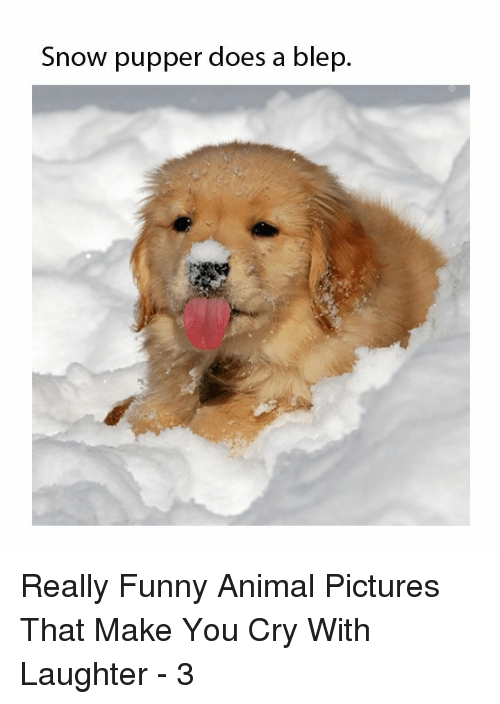 Funny, Animal, and Pictures: Snow pupper does a blep, Really Funny Animal Pictures That Make You Cry With Laughter - 3