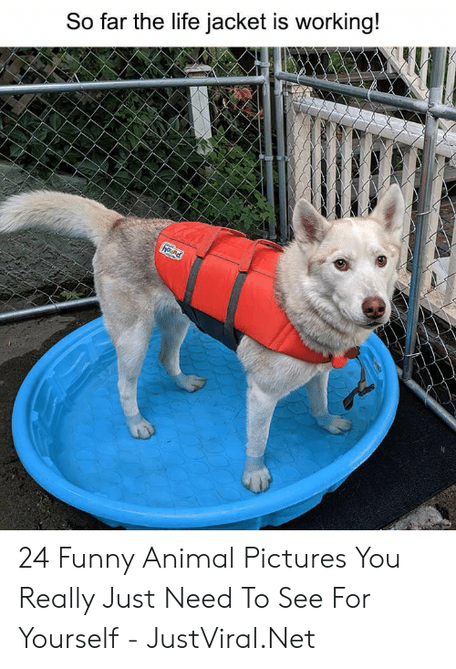 jacket: So far the life jacket is working!  hound 24 Funny Animal Pictures You Really Just Need To See For Yourself - JustViral.Net