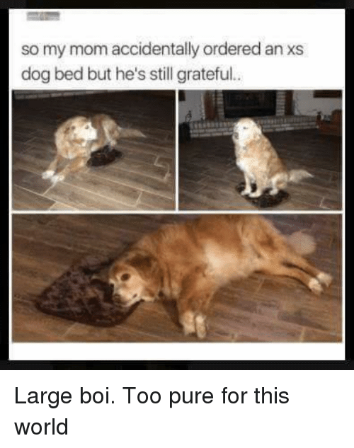 dog bed: so my mom accidentally ordered an xs  dog bed but he's still grateful.. <p>Large boi. Too pure for this world</p>