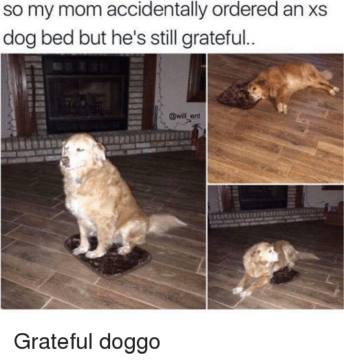 dog bed: so my mom accidentally ordered an xs  dog bed but he's still grateful  @will_ent Grateful doggo