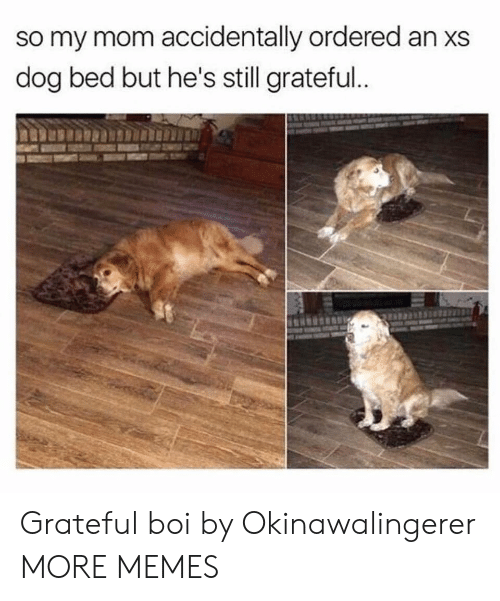dog bed: so my mom accidentally ordered an xs  dog bed but he's still grateful. Grateful boi by Okinawalingerer MORE MEMES