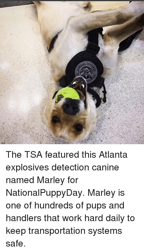 work hard: so  ONYr  TSA The TSA featured this Atlanta explosives detection canine named Marley for NationalPuppyDay. Marley is one of hundreds of pups and handlers that work hard daily to keep transportation systems safe.