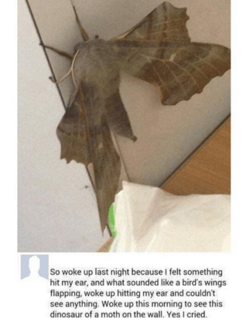flapping: So woke up last night because I felt something  hit my ear, and what sounded like a bird's wings  flapping, woke up hitting my ear and couldn't  see anything. Woke up this morning to see this  dinosaur of a moth on the wall. Yes I cried.