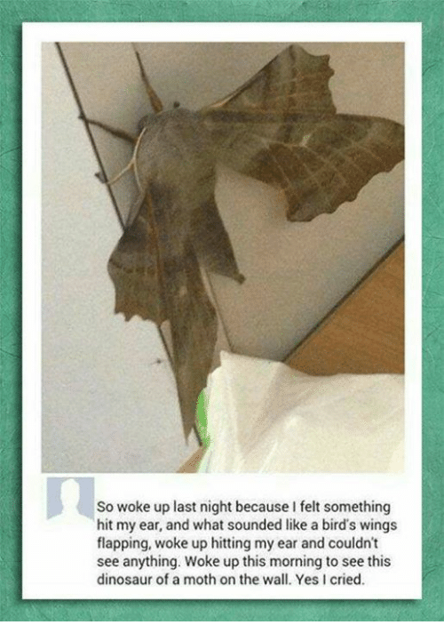 flapping: So woke up last night because I felt something  hit my ear, and what sounded like a bird's wings  flapping, woke up hitting my ear and couldn't  see anything. Woke up this morning to see this  dinosaur of a moth on the wall. Yes cried.