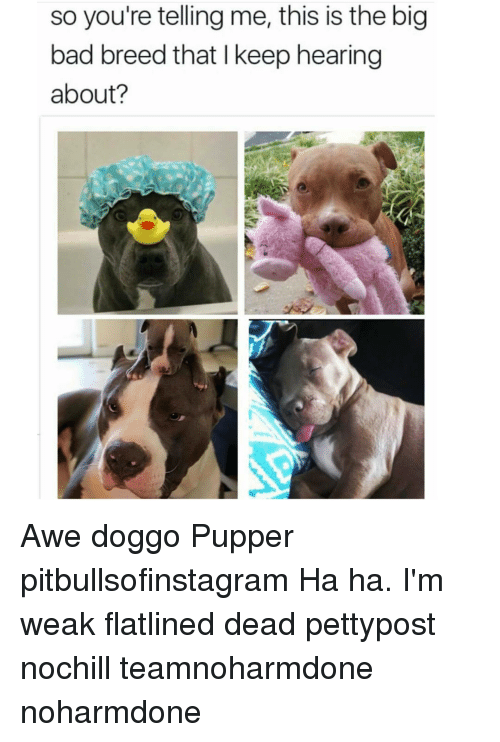 Your Telling Me: so you're telling me, this is the big  bad breed that l keep hearing  about? Awe doggo Pupper pitbullsofinstagram Ha ha. I'm weak flatlined dead pettypost nochill teamnoharmdone noharmdone