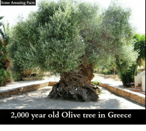 olive tree: Some Amazing Facts  2,000 year old Olive tree in Greece