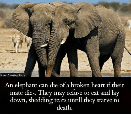 Facts, Memes, and Death: Some Amazing Facts  An elephant can die of a broken heart if their  mate dies. They may refuse to eat and lay  down, shedding tears untill they starve to  death