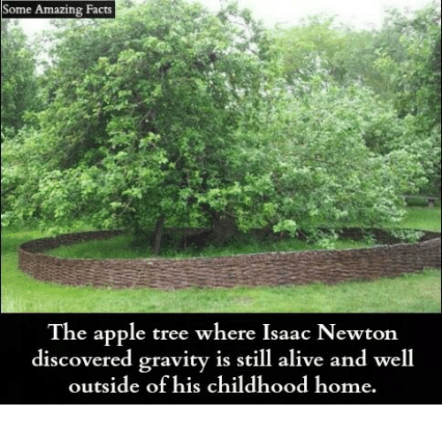Alive, Apple, and Facts: Some Amazing Facts  The apple tree where Isaac Newton  discovered gravity is still alive and well  outside of his childhood home.