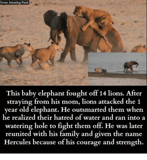Baby Elephant: Some Amazing Facts  This baby elephant fought off 14 lions. After  straying from his mom, lions attacked the 1  year old elephant. He outsmarted them when  he realized their hatred of water and ran into a  watering hole to fight them off. He was later  reunited with his family and given the name  Hercules because of his courage and strength.