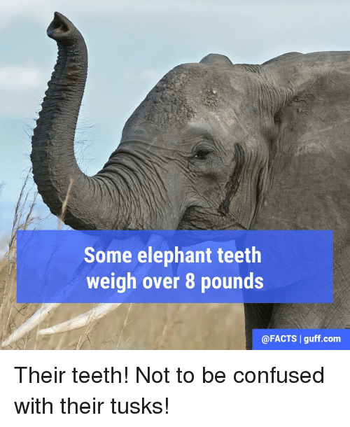 Tusk: Some elephant teeth  weigh over 8 pounds  @FACTS I guff com Their teeth! Not to be confused with their tusks!