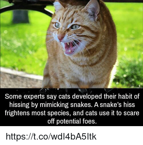 SIZZLE: Some experts say cats developed their habit of  hissing by mimicking snakes. A snake's hisS  frightens most species, and cats use it to scare  off potential foes https://t.co/wdI4bA5Itk