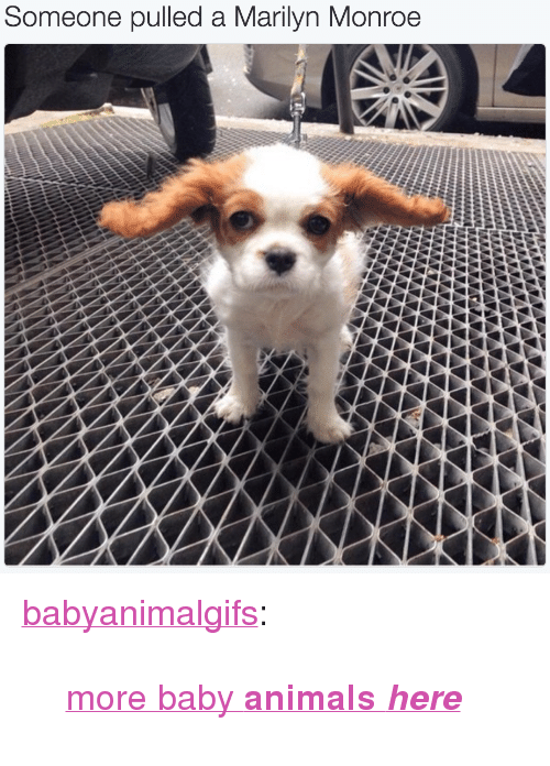 """Marilyn Monroe: Some  one pulled a Marilyn Monroe <p><a href=""""http://babyanimalgifs.tumblr.com/post/148866482952/more-baby-animals-here"""" class=""""tumblr_blog"""">babyanimalgifs</a>:</p>  <blockquote><p><a href=""""http://babyanimalgifs.tumblr.com/"""">more baby <b>animals <i>here</i></b></a></p></blockquote>"""