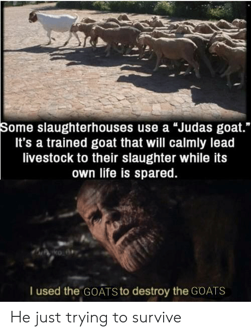 """goats: Some slaughterhouses use a """"Judas goat.""""  It's a trained goat that will calmly lead  livestock to their slaughter while its  own life is spared.  I used the GOATS to destroy the GOATS He just trying to survive"""