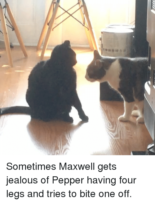 Jealous, Memes, and 🤖: Sometimes Maxwell gets jealous of Pepper having four legs and tries to bite one off.