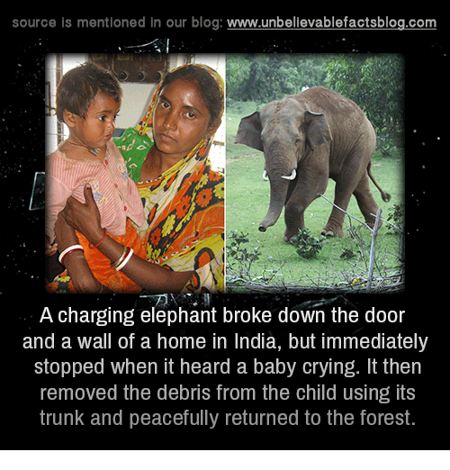 Memes, Trunks, and Blog: source is mentioned in our blog  www.unbelievablefactsblog.com  A charging elephant broke down the door  and a wall of a home in India, but immediately  stopped when it heard a baby crying. It then  removed the debris from the child using its  trunk and peacefully returned to the forest.