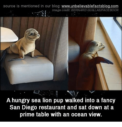 Facebook, Hungry, and Memes: source Is mentioned In our blog  www.unbelievablefactsblog.com  Image credit: BERNARD GUILLAS/FACEBOOK  A hungry sea lion pup walked into a fancy  San Diego restaurant and sat down at a  prime table with an ocean view.