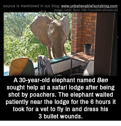 Waiting Patiently: source Is mentioned In our blog  www.unbelievablefactsblog.com  Image credit: Bumi Hills Foundation(facebook)  A 30-year-old elephant named Ben  sought help at a safari lodge after being  shot by poachers. The elephant waited  patiently near the lodge for the 6 hours it  took for a vet to fly in and dress his  3 bullet wounds.
