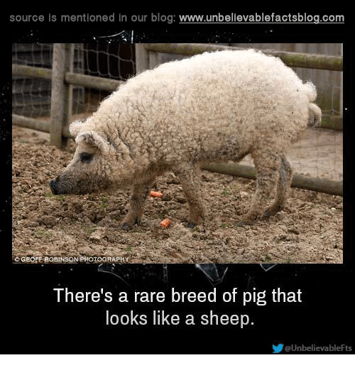 Memes, 🤖, and Pig: source is mentioned in our blog  www.unbelievablefactsblog.com  There's a rare breed of pig that  looks like a sheep.  UnbelievableFts