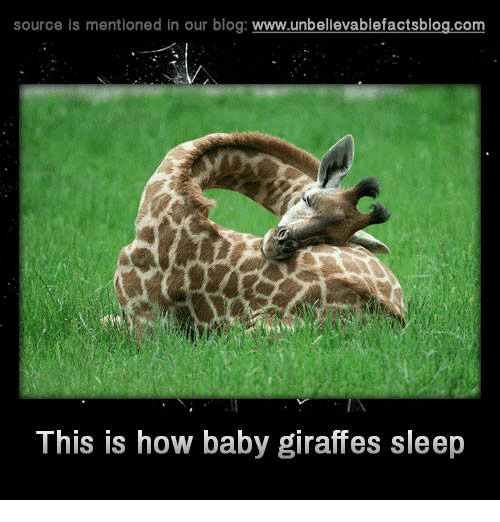 baby giraffe: source is mentioned in our blog  www.unbelievablefactsblog.com  This is how baby giraffes sleep