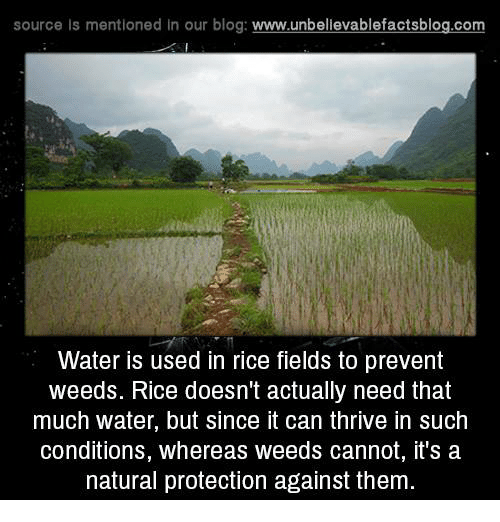 Memes, Blog, and 🤖: source Is mentioned In our blog  www.unbelievablefactsblog.com  Water is used in rice fields to prevent  weeds. Rice doesn't actually need that  much water, but since it can thrive in such  conditions, whereas weeds cannot, it's a  natural protection against them.