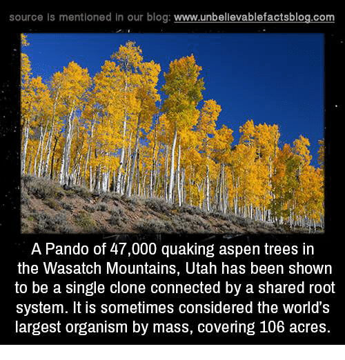 Aspen: source is mentioned in our blog: www.unbellevablefactsblog.com  A Pando of 47,000 quaking aspen trees in  the Wasatch Mountains, Utah has been shown  to be a single clone connected by a shared root  system. It is sometimes considered the world's  largest organism by mass, covering 106 acres.