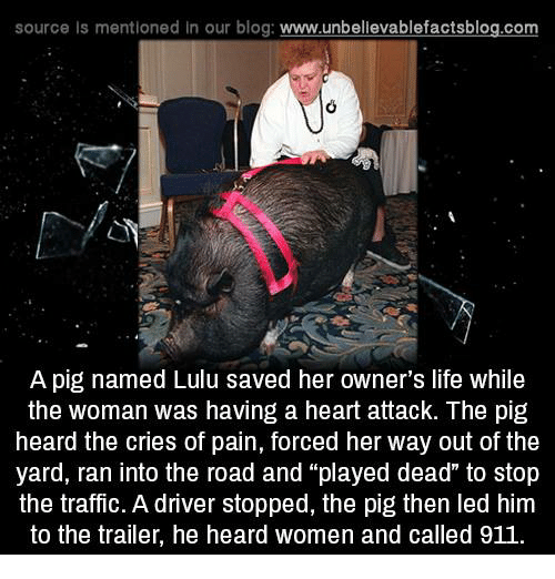 """lulu: source Is mentioned in our blog: www.unbellevablefactsblog.com  A pig named Lulu saved her owner's life while  the woman was having a heart attack. The pig  heard the cries of pain, forced her way out of the  yard, ran into the road and """"played dead"""" to stop  the traffic. A driver stopped, the pig then led him  to the trailer, he heard women and called 911"""