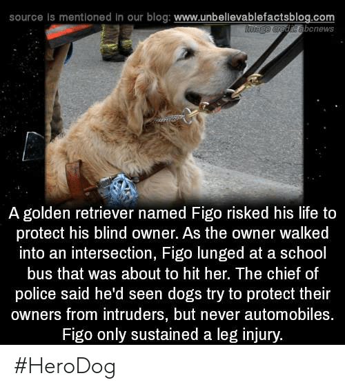 figo: source is mentioned in our blog: www.unbellevablefactsblog.com  abcnews  A golden retriever named Figo risked his life to  protect his blind owner. As the owner walked  into an intersection, Figo lunged at a school  bus that was about to hit her. The chief of  police said he'd seen dogs try to protect their  owners from intruders, but never automobiles.  Figo only sustained a leg injury. #HeroDog