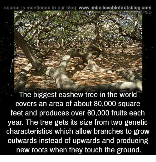 Memes, Blog, and Covers: source Is mentioned In our blog: www.unbellevablefactsblog.com  Flick  The biggest cashew tree in the world  covers an area of about 80,000 square  feet and produces over 60,000 fruits each  year. The tree gets its size from two genetic  characteristics which allow branches to grow  outwards instead of upwards and producing  new roots when they touch the ground