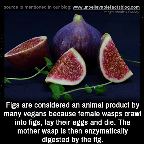 wasps: source is mentioned in our blog: www.unbellevablefactsblog.com  Image credit: Pixabay  Figs are considered an animal product by  many vegans because female wasps crawl  into figs, lay their eggs and die. The  mother wasp is then enzymatically  digested by the fig.