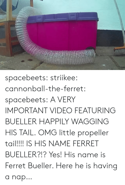 Wagging: spacebeets:  striikee:   cannonball-the-ferret:   spacebeets:  A VERY IMPORTANT VIDEO FEATURING BUELLER HAPPILY WAGGING HIS TAIL.  OMG little propeller tail!!!!   IS HIS NAME FERRET BUELLER?!?   Yes! His name is Ferret  Bueller. Here he is having a nap…