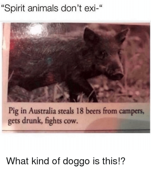 """Dont Exi: """"Spirit animals don't exi-""""  Pig in Australia steals 18 beers from campers,  gets drunk, fights cow. What kind of doggo is this!?"""
