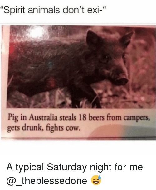 """Dont Exi: """"Spirit animals don't exi-""""  Pig in Australia steals 18 beers from campers,  gets drunk, fights cow. A typical Saturday night for me @_theblessedone 😅"""